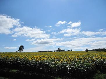 ひまわり畑.JPG