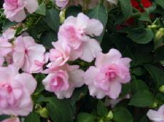 カリフォルニアローズ(花).jpg